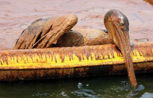 Pelican covered in oil